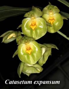 catasetum-expansum