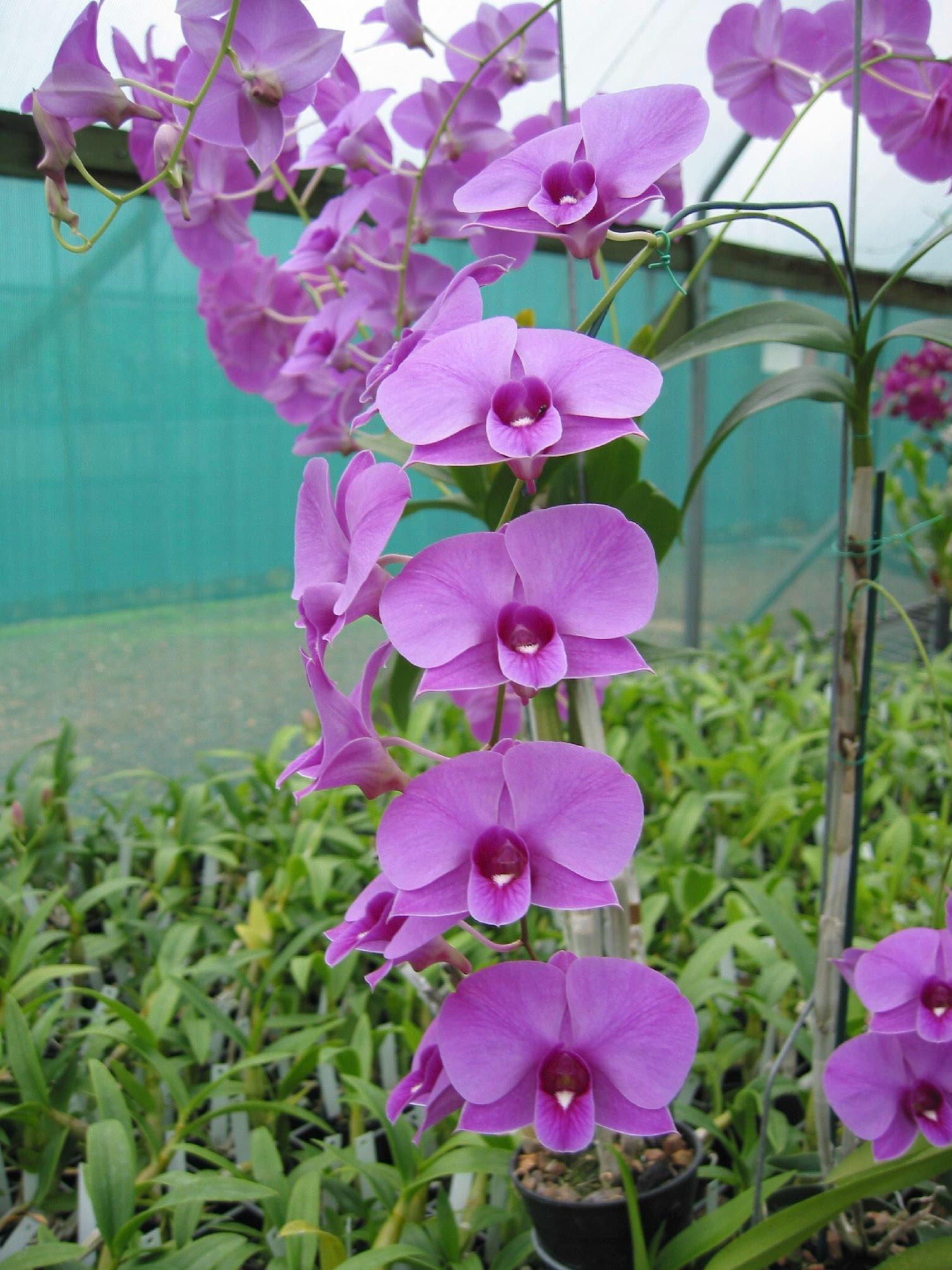 Dendrobium | San Fernando Valley Orchid Society