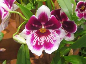 miltoniopsis-orchid-image