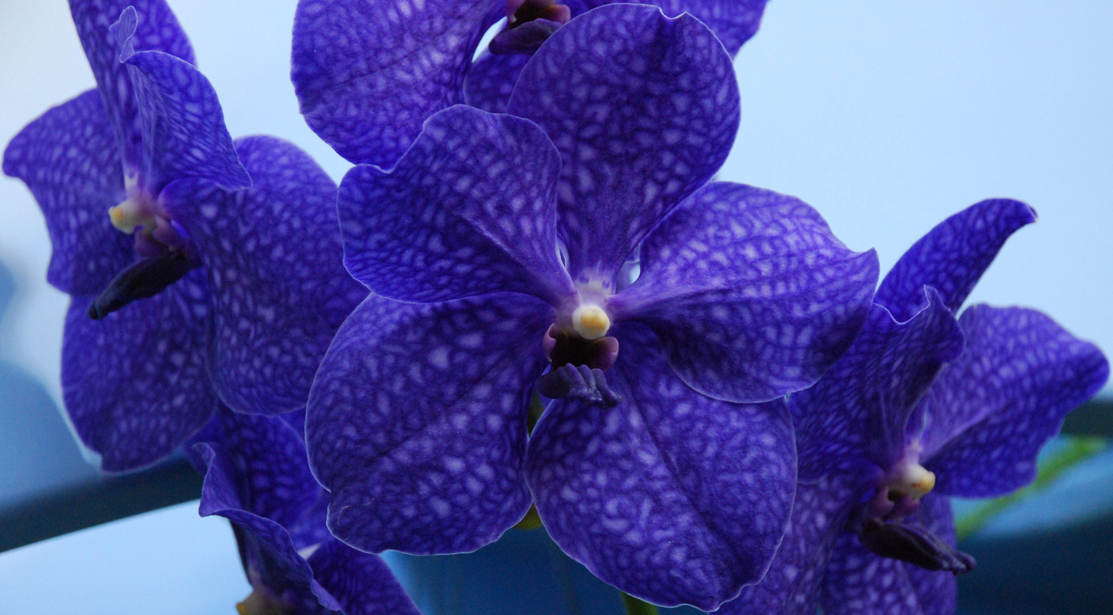 Орхидея Ванда - Комнатные растения и цветы. Florets.ru