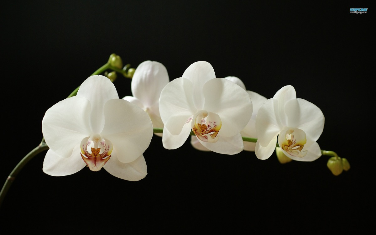 White orchid 373 1920 1200 san fernando valley orchid - White orchid flowers desktop wallpapers ...