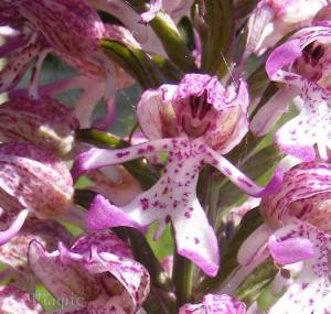 monkey orchid.4