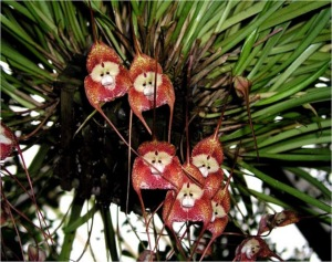 monkey orchid.5