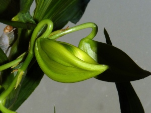 greenswan.orchid