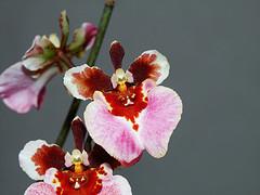 Equitant Oncidium Tolumnia Orchid