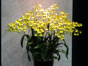 September's Birth Month Orchid is the Oncidium, or Dancing Ladies Orchid