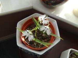 whte.egret.orchid.sm.pot.image