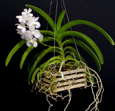 Vanda orchids san fernando valley orchid society How do you care for orchids after they bloom