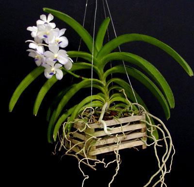 Vanda orchids san fernando valley orchid society - Vanda orchid care ...