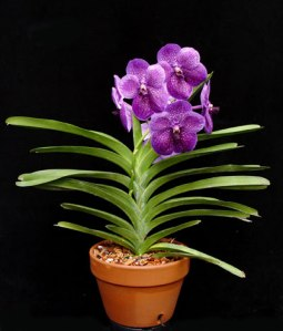 vanda_orchid_plant.in.pot