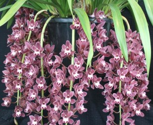 04 1 Cymbidium Fairy Rouge 'Lavendar Fallers' Exibitor V Dinh Photo T Dark